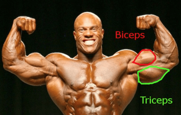 biceps vs triceps workout