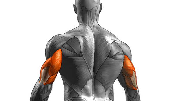 Muscles Worked By The Dumbbell Pullover Exercise - Triceps