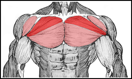Muscles Worked By The Rear Delt Fly - Chest