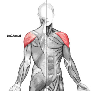 Muscles Worked By The Rear Delt Fly - Rear Delts