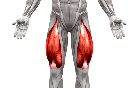 the Quadriceps are one of the muscle groups worked by the Smith machine deadlift