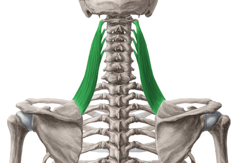 the Levator Scapulae is one of the muscles worked by the Smith machine deadlift