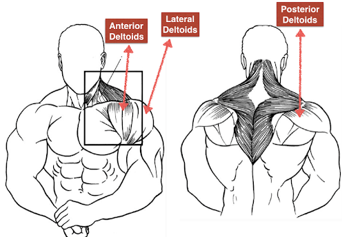 the Rear Deltoids are worked by the face pulls exercise