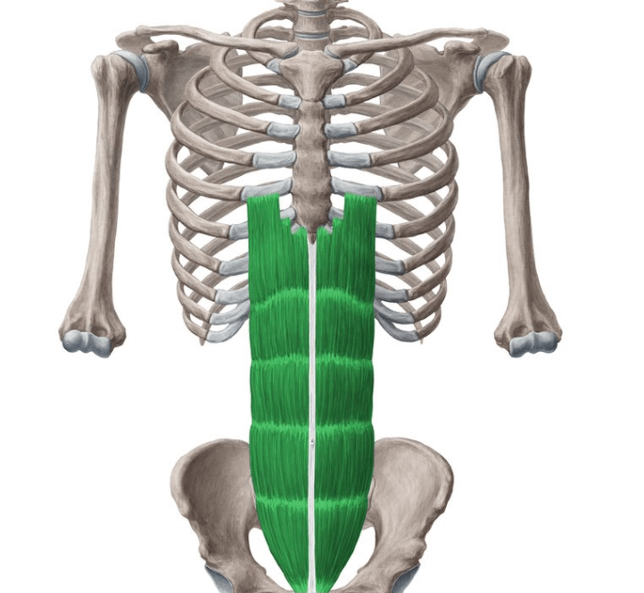 the Rectus Abdominis is one of the muscles worked by the Smith machine deadlift