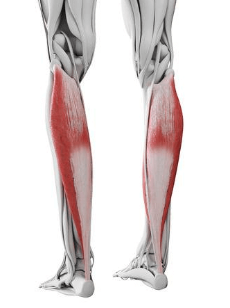 the Soleus is one of the muscles worked by the Smith machine deadlift