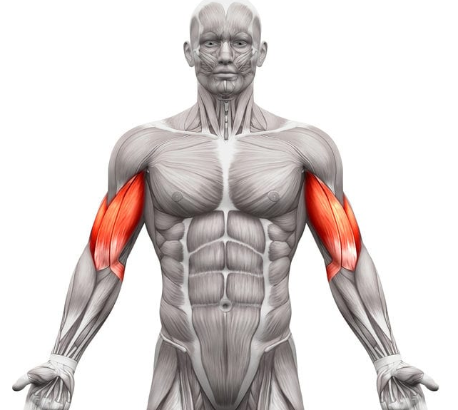 Biceps are greatly impacted by the Australian Pull-Up exercise