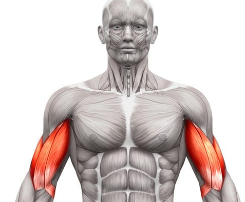 Biceps are a secondary muscle group that is targeted by the t bar row exercise