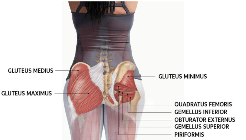 Gluteals are another muscle group targeted by the shrimp squat