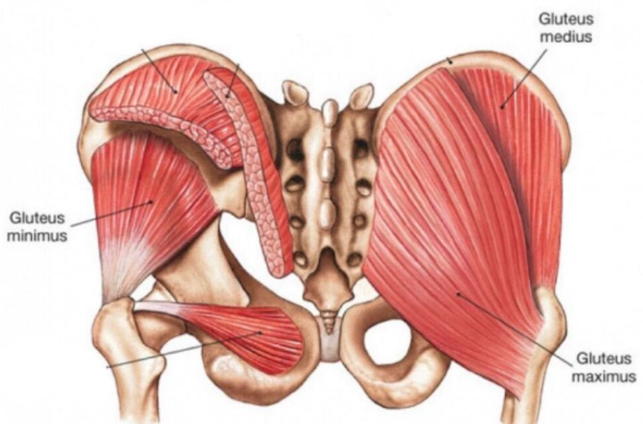 Hip Abductors are targeted by the shrimp squat exercise