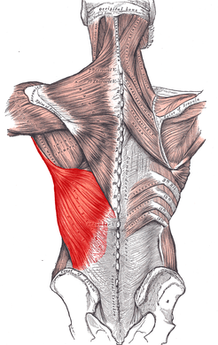 Latissimus Dorsi is another muscle impacted by Australian Pull-Ups