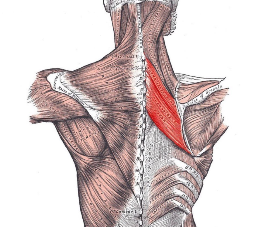 Rhomboids are one of the muscles targeted by Australian Pull-Ups