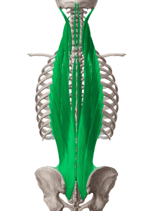 Spinal Erectors is another muscle group targeted by the shrimp squat