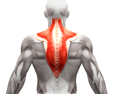 Your Trapezius are a primary muscle that is exercised by the t bar row workout