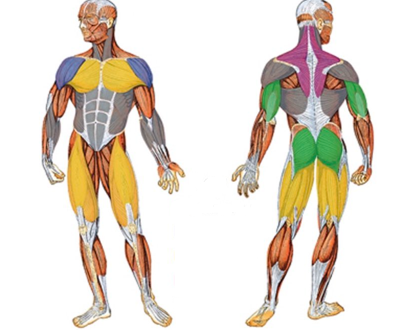 What Specific Muscles Do You Use when doing the low row exercise