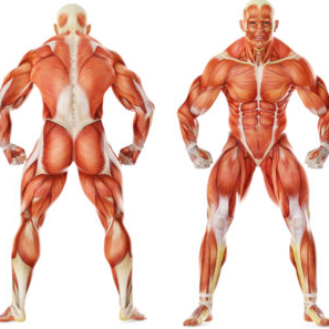 A great benefit of low rows is they Work Several Muscles