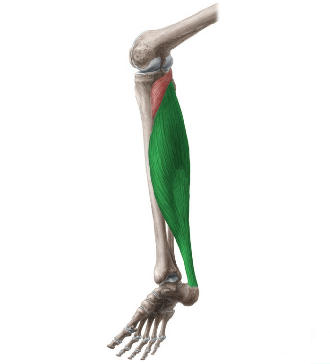 The Soleus is a muscle group worked by the Seated Calf Raise