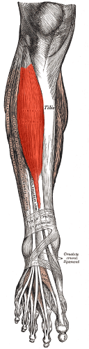 The Tibialis Anterior is a muscle group worked by the Seated Calf Raise